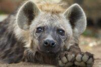 Significado de soñar con hienas